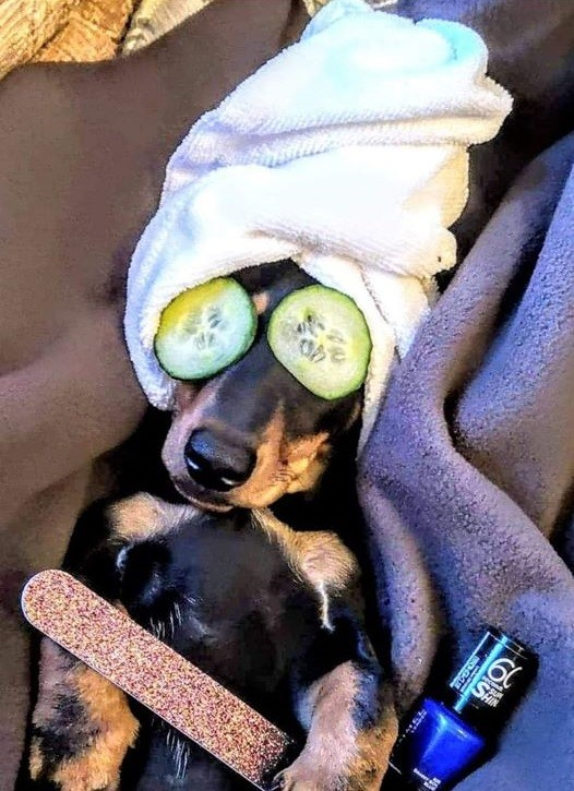 Hilarious Reasons Dachshunds Think They Are Humans 8