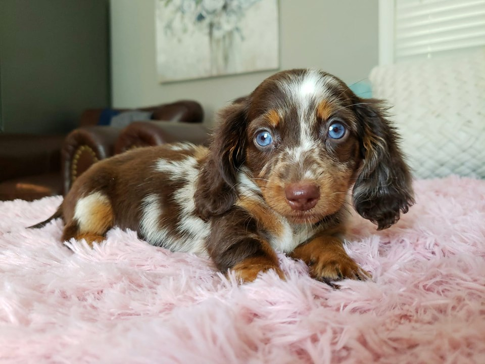 7 Ways To Help Your Dachshund Puppies Always Healthy 2