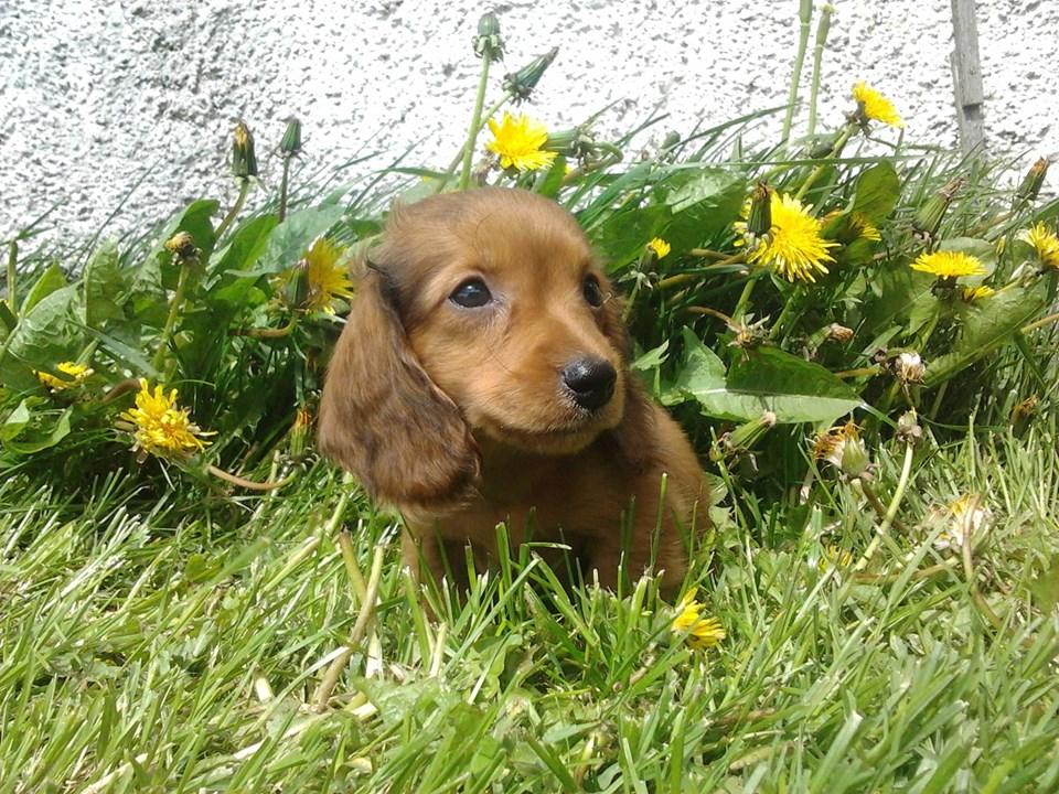 How To Teach Your Dachshunds To Recognize Their Names 3