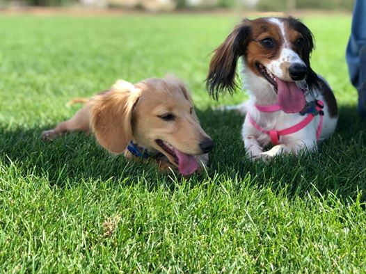 7 Ways To Help Your Dachshund Puppies Always Healthy 4