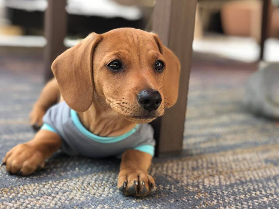 How To Teach Your Dachshunds To Recognize Their Names 6