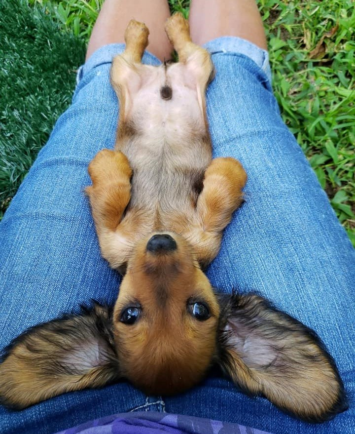 How To Care For A New Dachshund Puppy 6