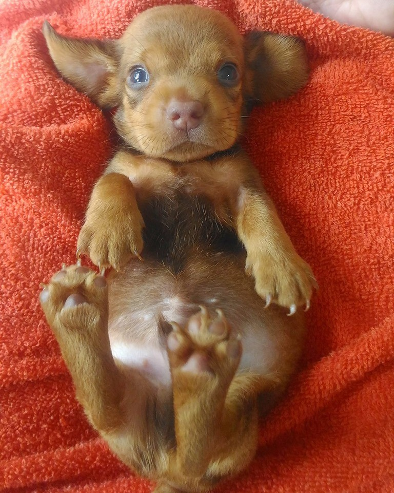 How To Care For A New Dachshund Puppy 4