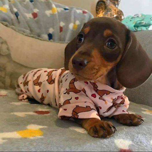 Dachshunds - The Most Fictional Dogs 2