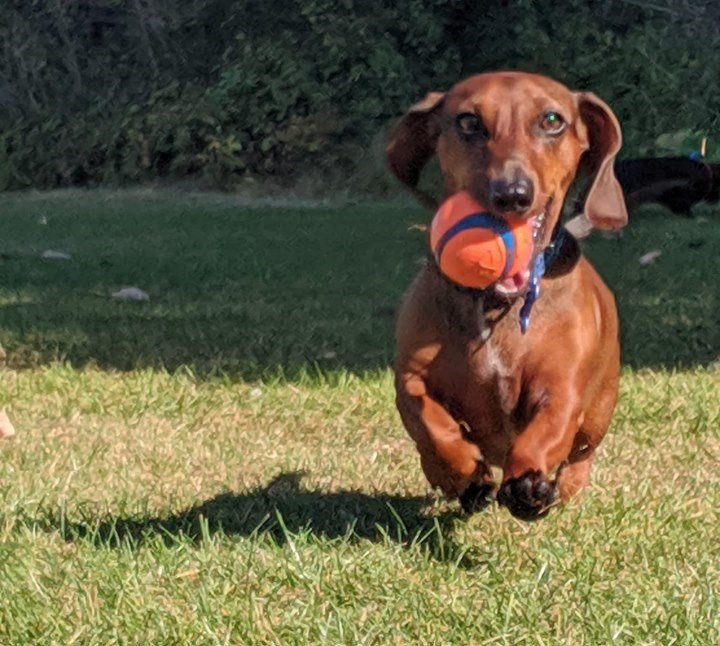 Funny Dachshund Property Laws 2