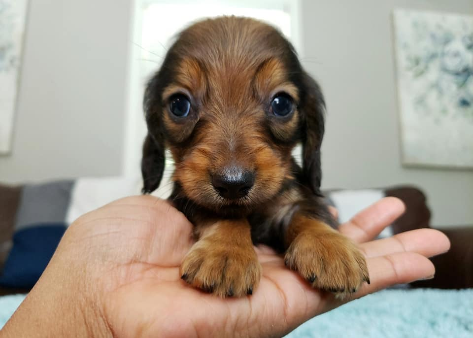 How To Care For A New Dachshund Puppy 7