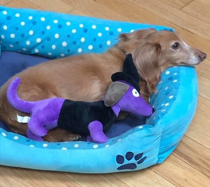 How To Care For A New Dachshund Puppy 2