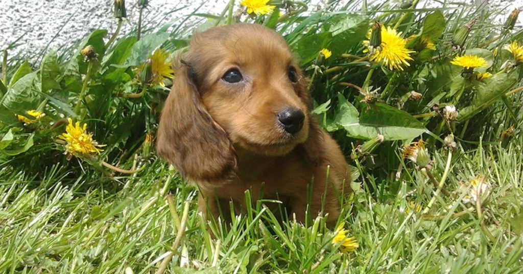 How To Teach Your Dachshunds To Recognize Their Names