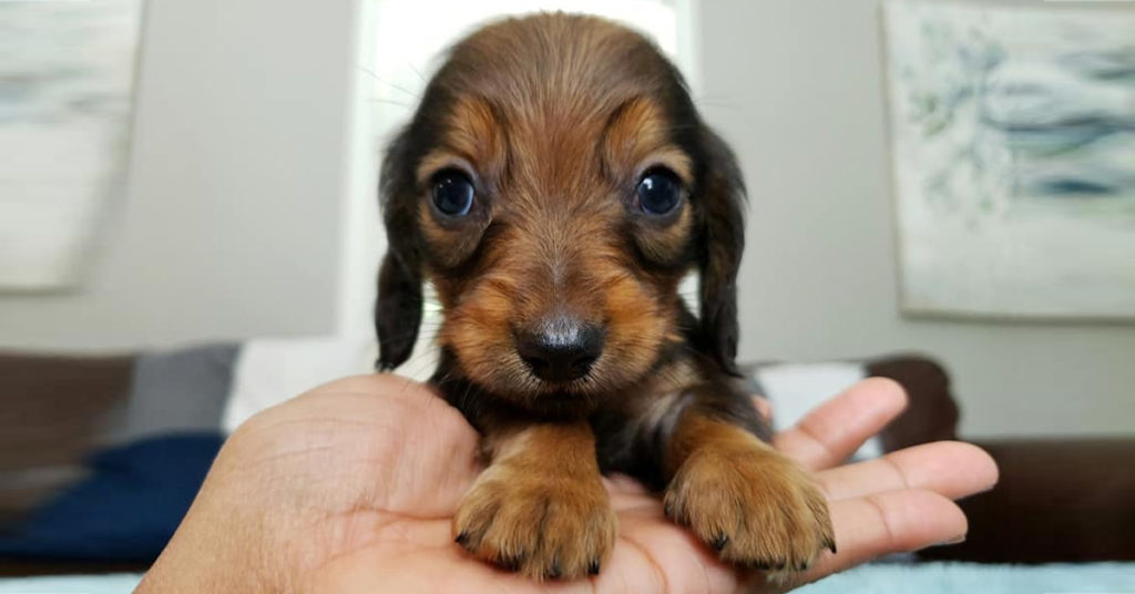 How To Care For A New Dachshund Puppy