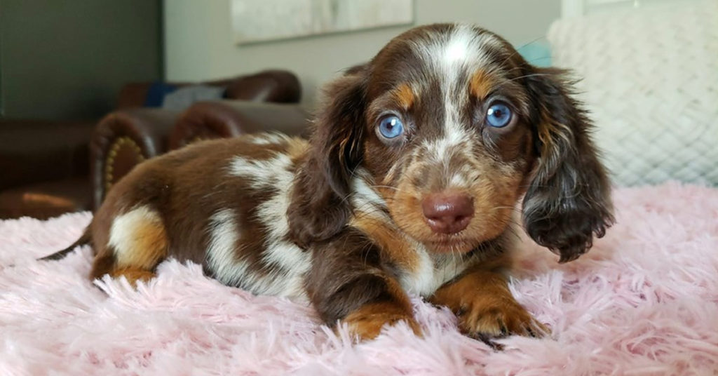7 Ways To Help Your Dachshund Puppies Always Healthy