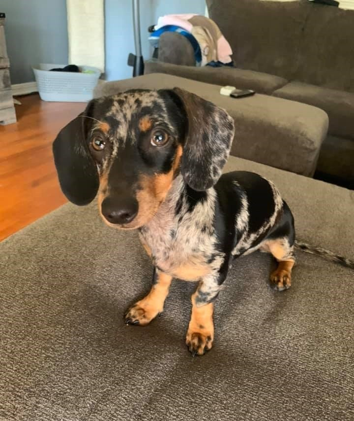 12 Reasons You Should Not Own A Dachshund 3