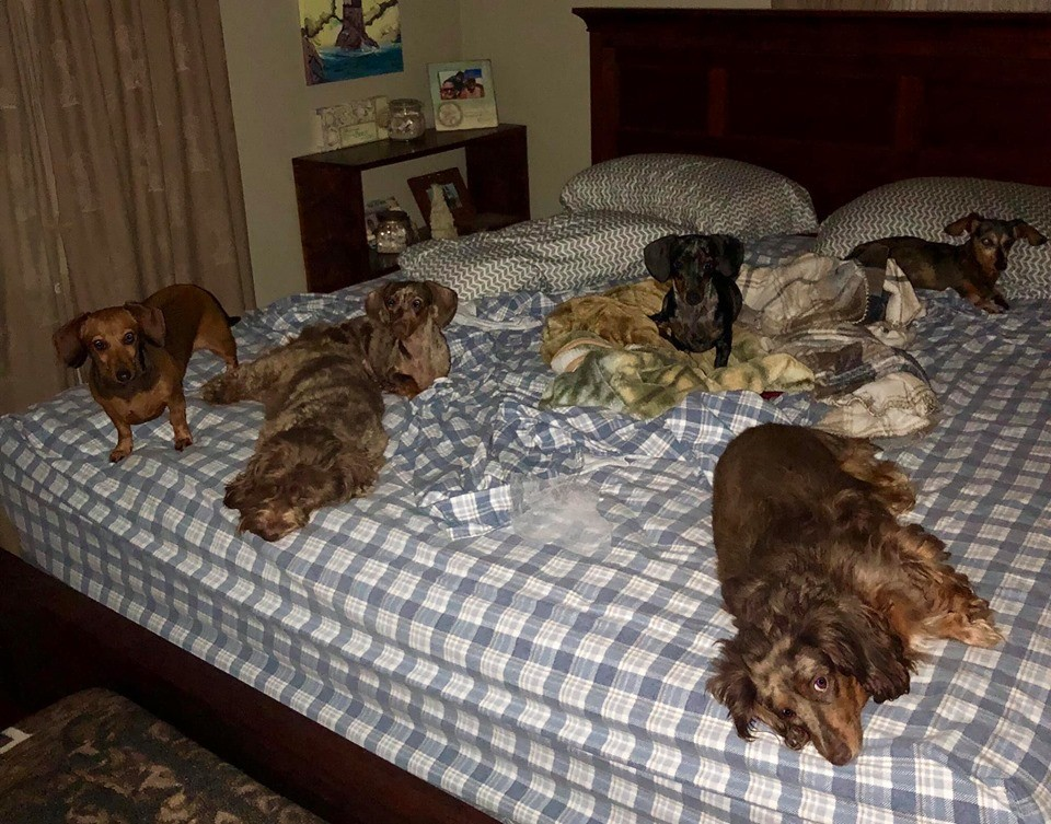 12 Reasons You Should Not Own A Dachshund 2