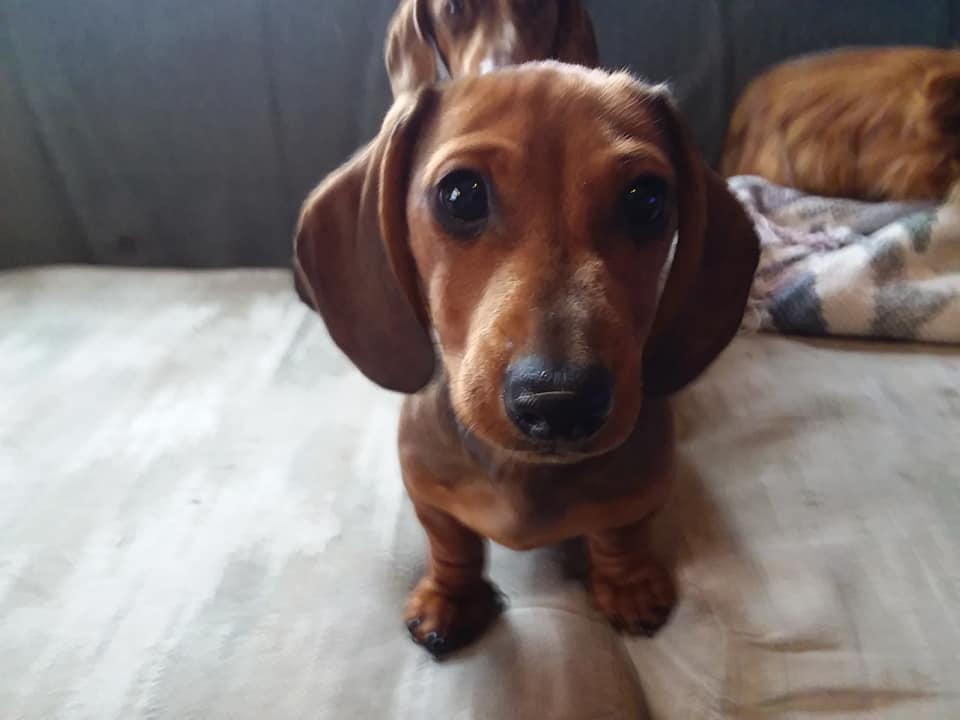 12 Reasons You Should Not Own A Dachshund 11