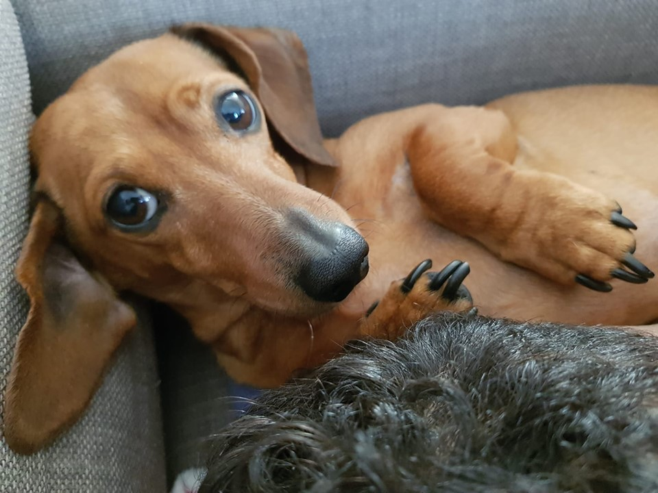 What Will Happens When You Leave Your Dachshund Home Alone? 3