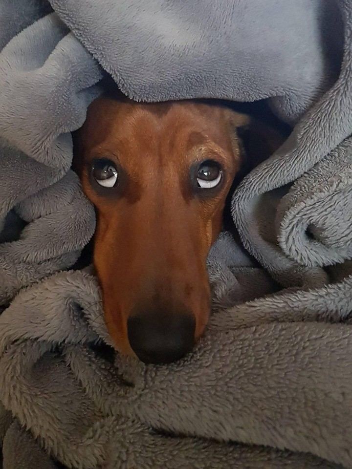 What Will Happens When You Leave Your Dachshund Home Alone? 6