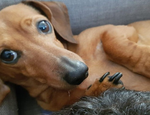 What Will Happens When You Leave Your Dachshund Home Alone?