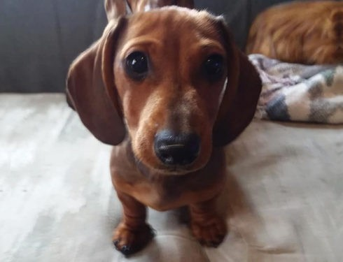 12 Reasons You Should Not Own A Dachshund