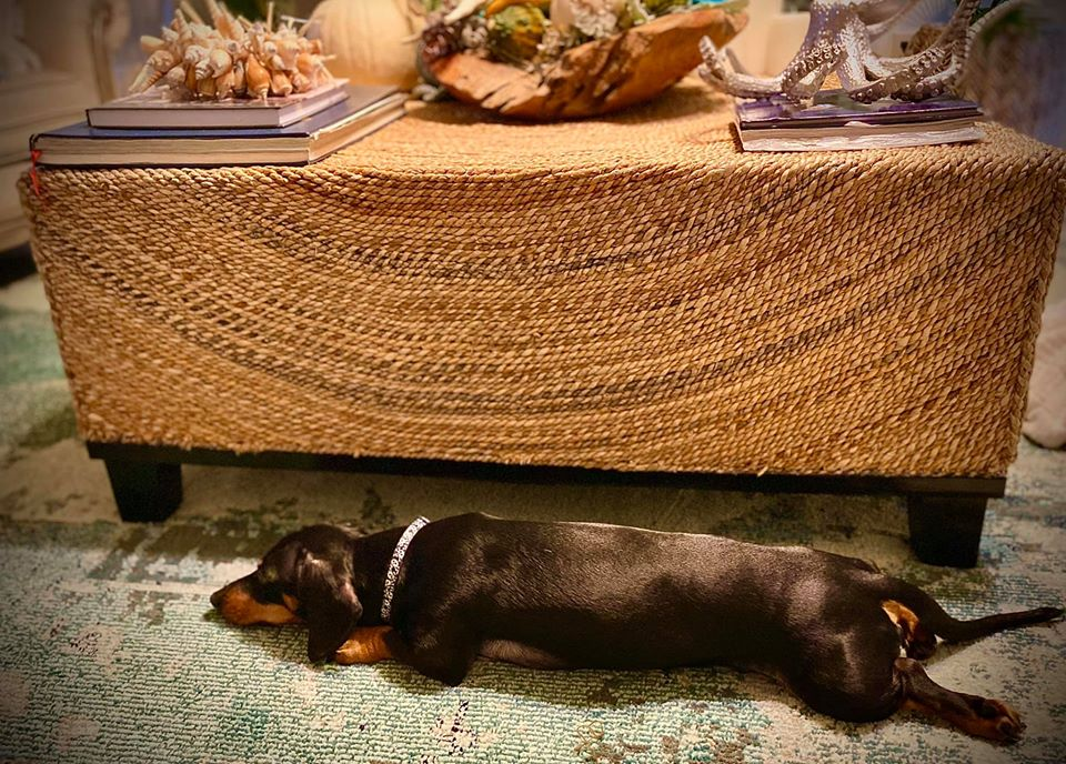 Top Funny Dachshund Sleeping Positions And What They Mean 5