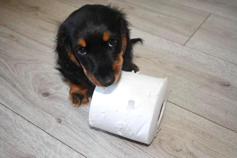 Why Dachshunds Are The Best Dogs 5