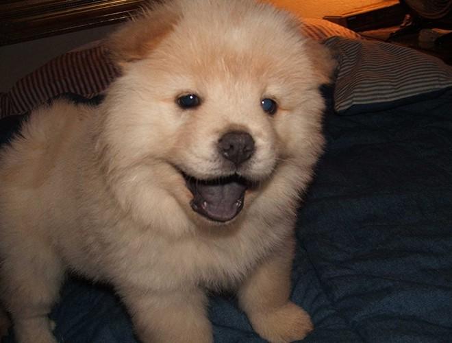 A super cute Corgi dog puppy