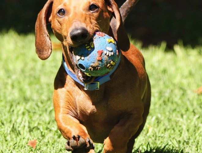 Dachshunds the cutest dogs