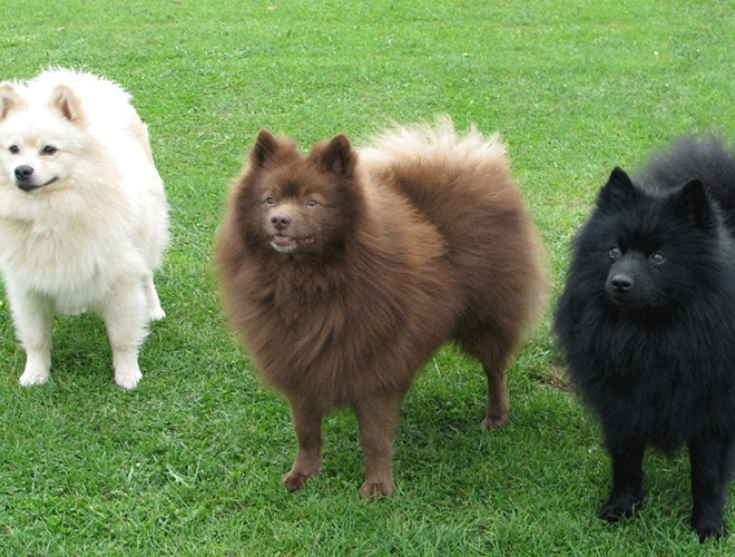 The cutest Spitz  dogs