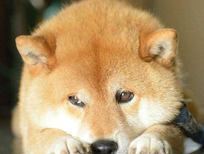 A Shy Shiba dog