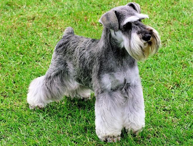 A lovely Miniature Schnauzer dog