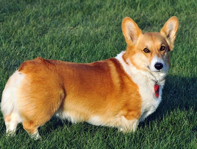 Corgi The Cutest Dog