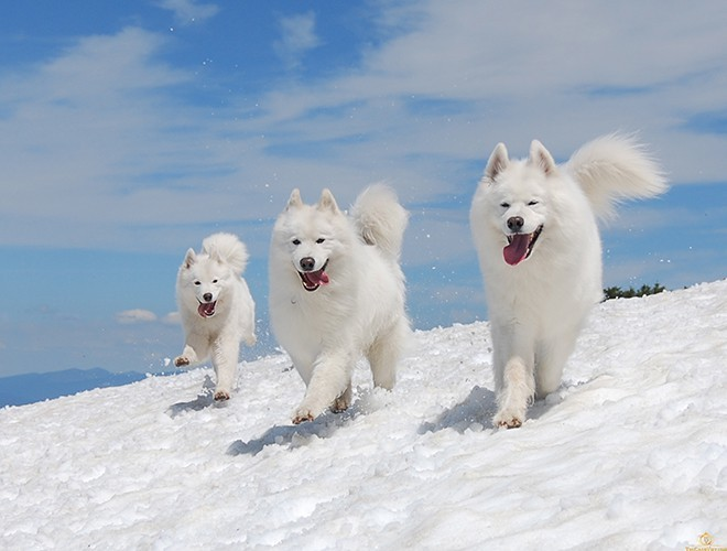 Samoyed  dogs