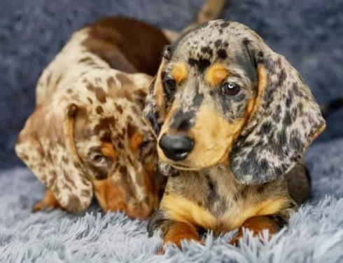 Are dachshund dogs smart