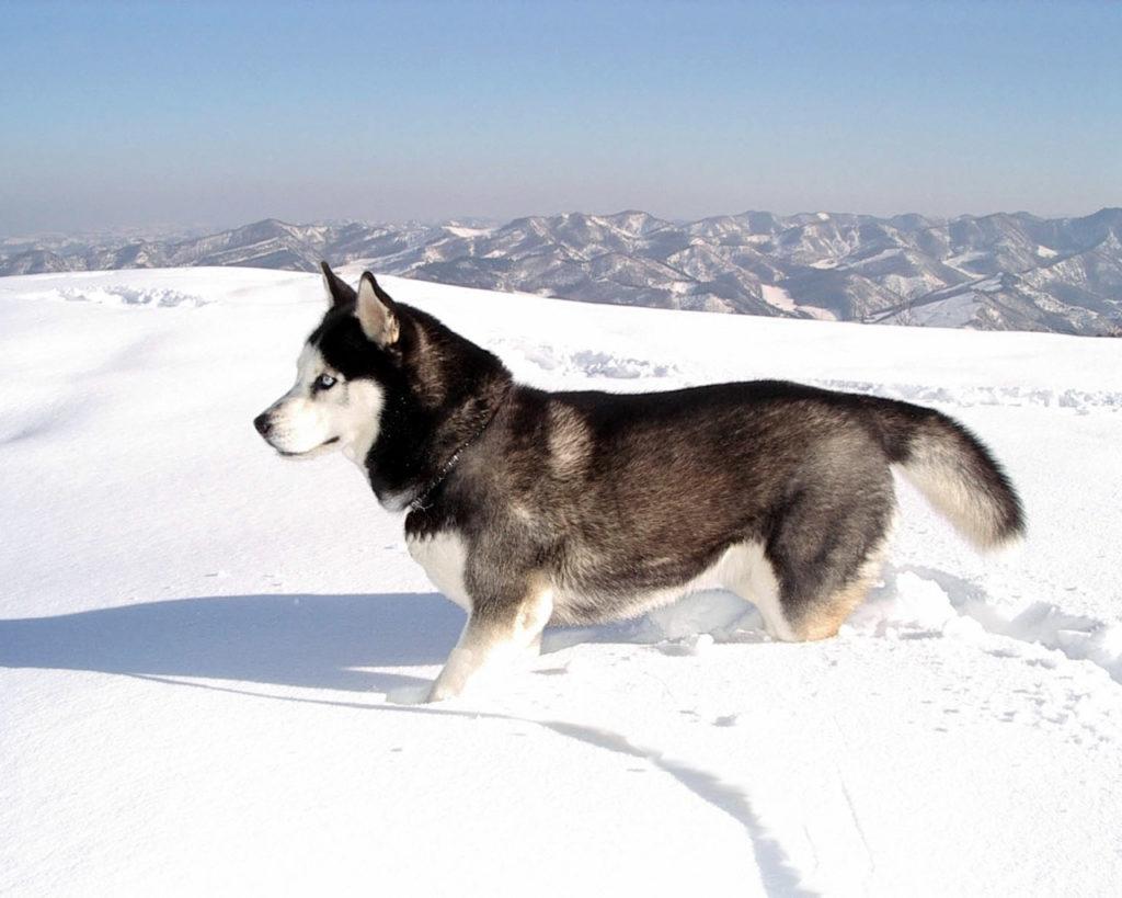 Husky Siberian Dogs