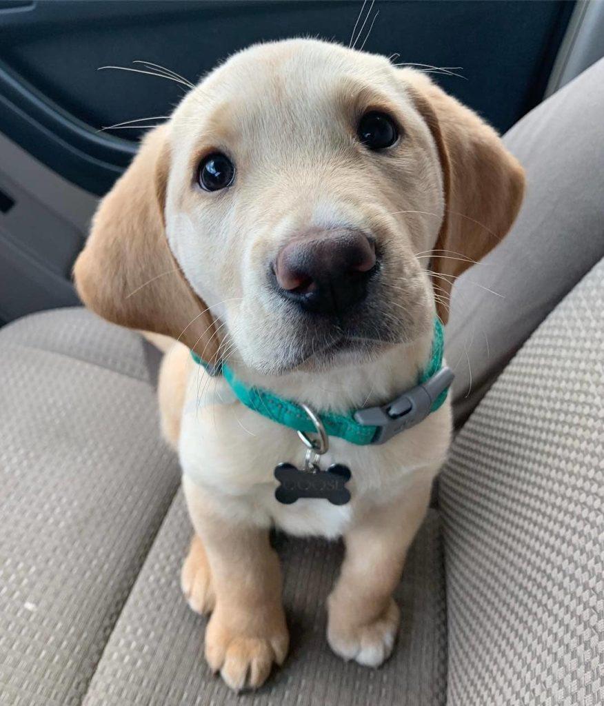 Top 10 smartest dog breeds - Labrador Retriever