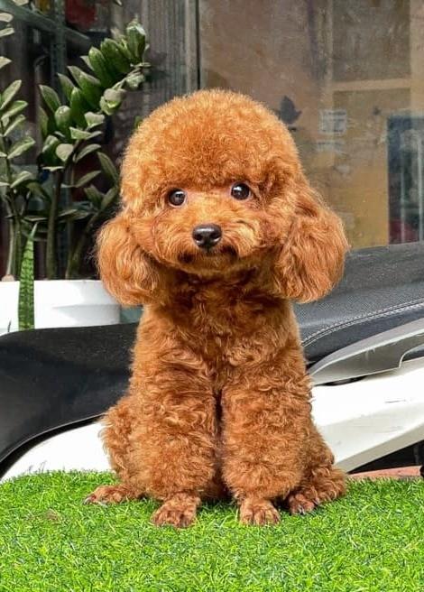 Top 10 smartest dog breeds - Poodle