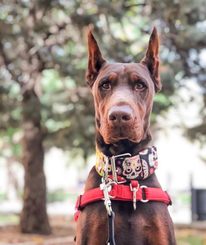 Top 10 smartest dog breeds - Doberman Pinscher