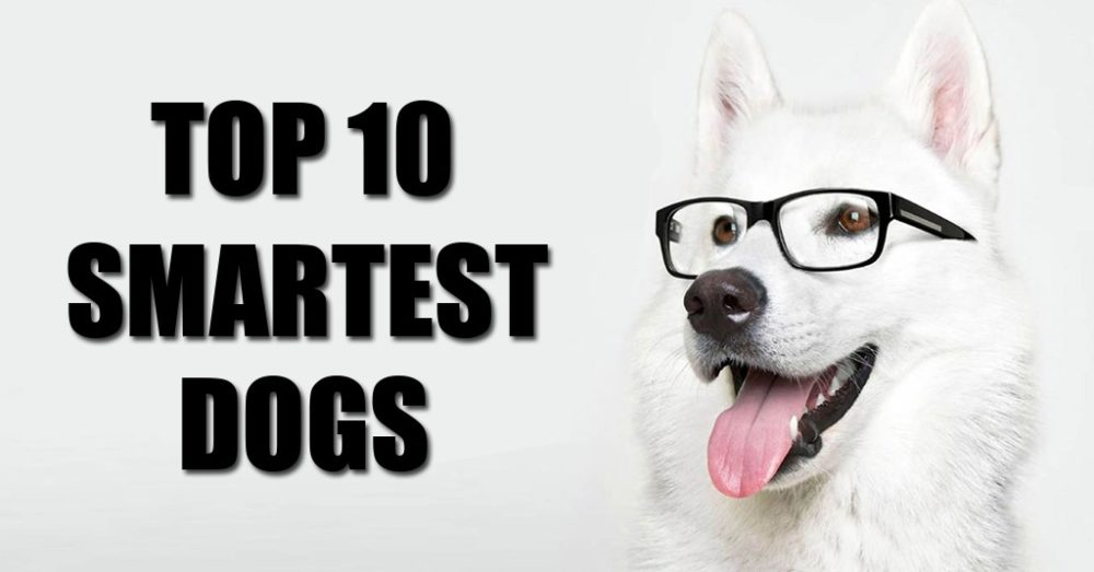 Top 10 Smartest Dog Breeds – Are Dachshunds Smart?