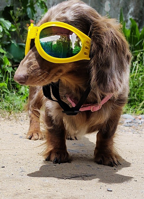 Can Dachshunds be police dogs to detect COVID-19?